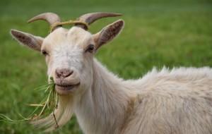 Koza-Goat
